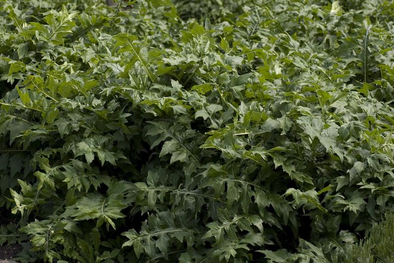 acanthus-mollis-latifolius-imgp2329