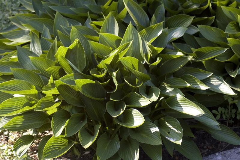 hosta-tardiana-devon-green-imgp2237