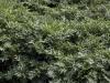 acanthus-spinosus-imgp2327