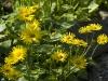 doronicum-orientale-imgp0283