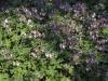 geranium-macrorrhizum-ingwersen-imgp2215