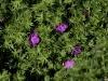geranium-sanguineum-imgp2217