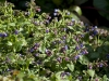 pulmonaria-longifolia-imgp0290