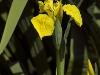 iris-pseudacorus-imgp2170