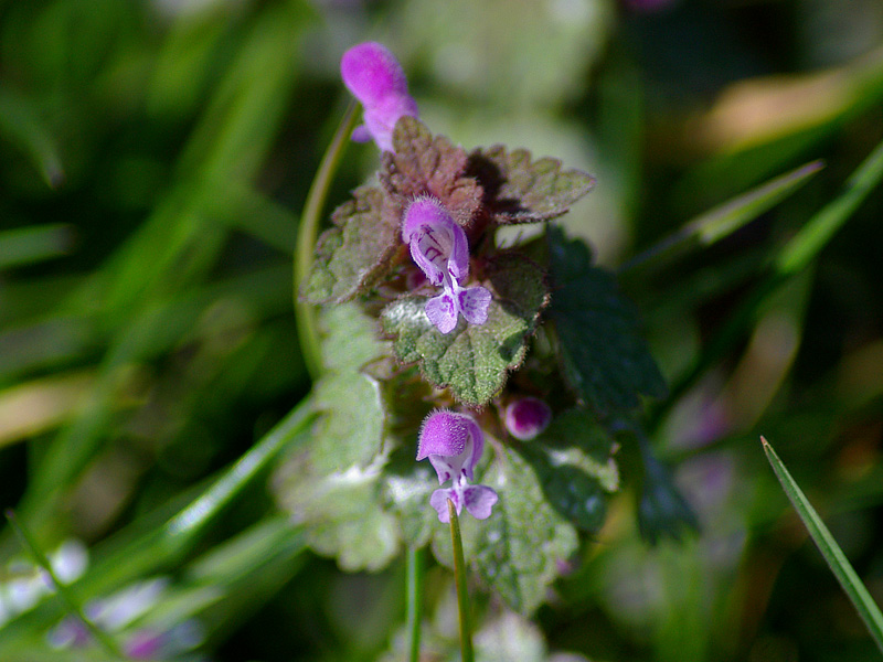 clechoma-hederacea