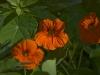 tropeolum-majus-imgp6026