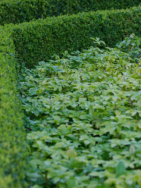 pachysandra-term