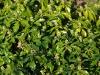 pachysandra-terminalis-green-shine-imgp8507