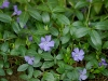 vinca-minor-closeup