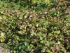 waldsteinia-ternata-imgp8478