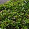 waldsteinia-ternata-imgp8548