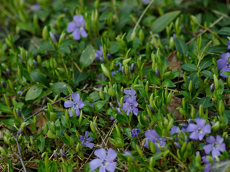 vinca-minor-closeup-02