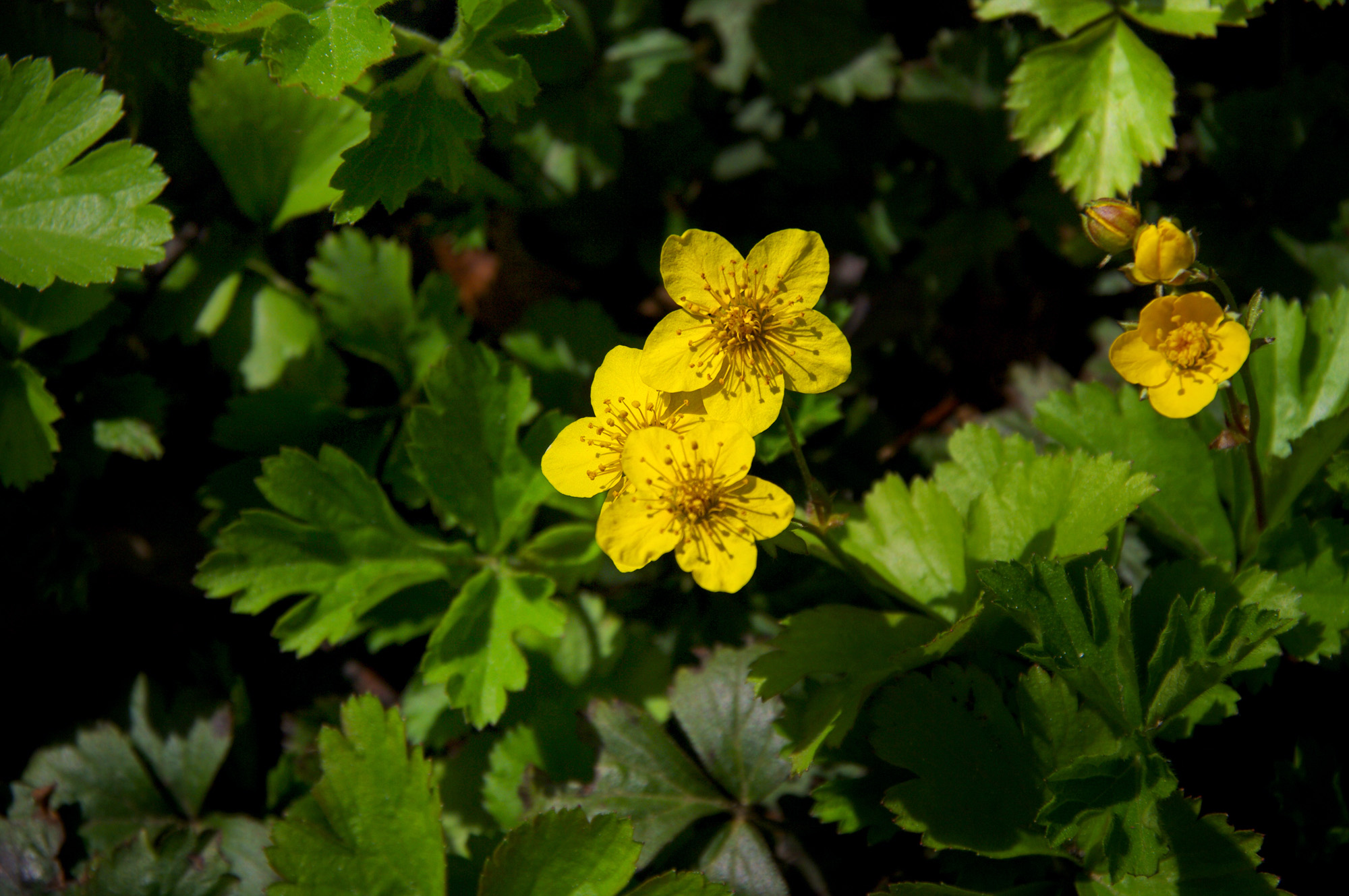 waldsteinia-ternata-bloei-imgp8546