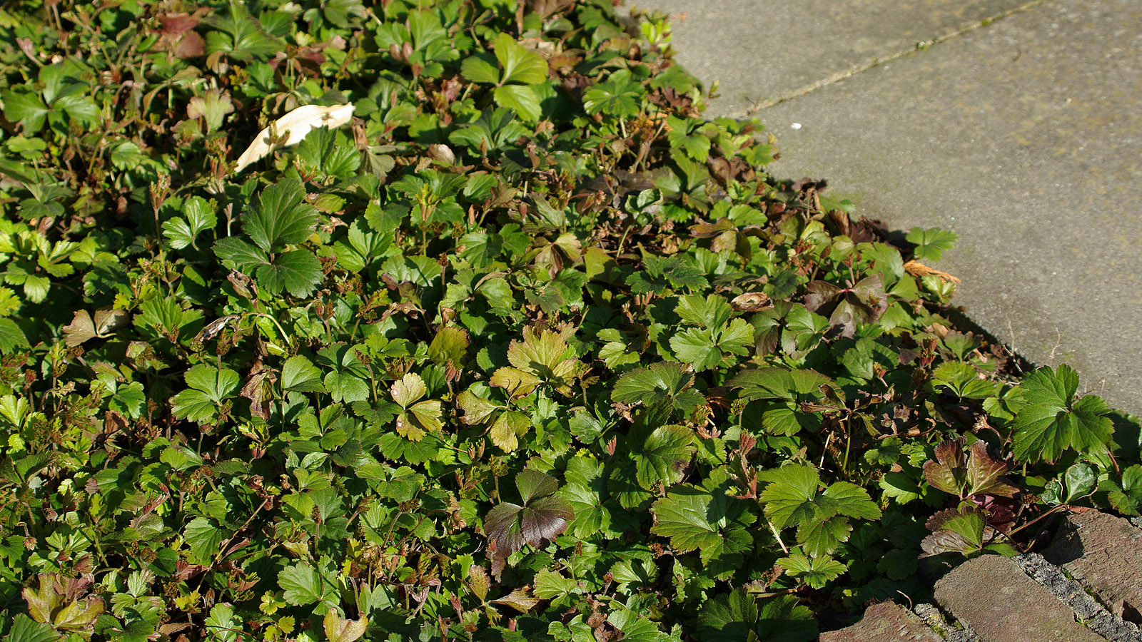 waldsteinia-ternata-imgp8477