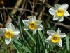 narcissus-flower-record