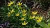 tulipa-turkestanica-imgp8549_0