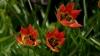 tulipa-turkestanica-imgp8563