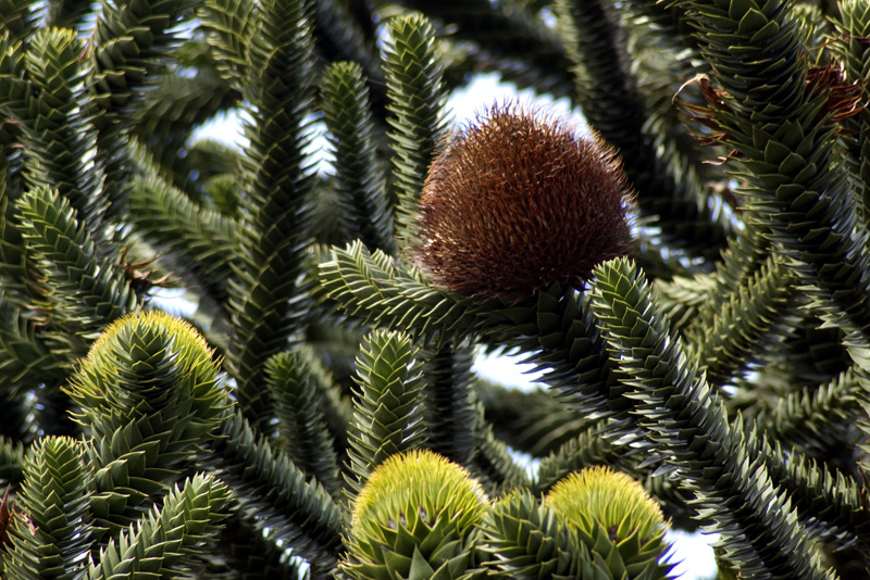 araucaria-araucana-vrucht-imgp0273