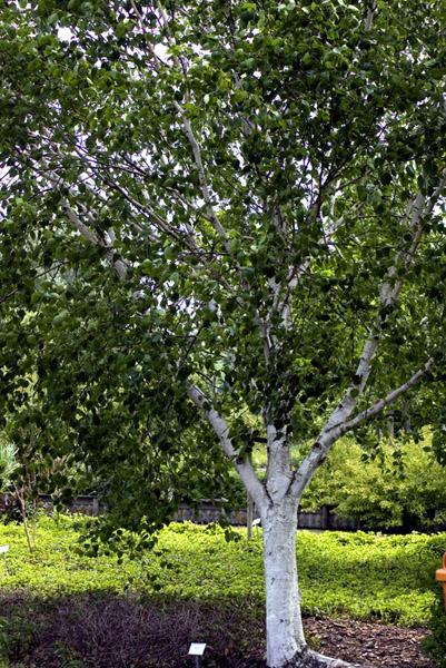 betulus-utilis-doorenbos-imgp2325