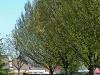 carpinus-betulus-fastigiata-vrije-vorm