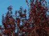 prunus-cerasifera-woodii