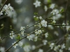 prunus-spinosa-closeup