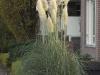 cortaderia-selloana-imgp3208