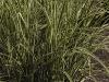 miscanthus-sinensis-variegatus-imgp2346