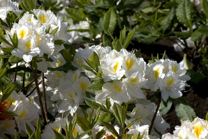 azalea-persil-imgp2169