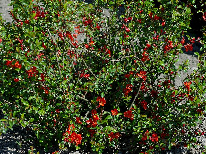 chaenomelis-japonica
