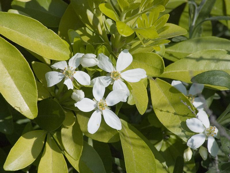 choisya-ternata-close-up-bloei
