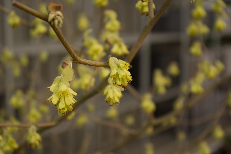 corylopsis-pauciflora-imgp0164