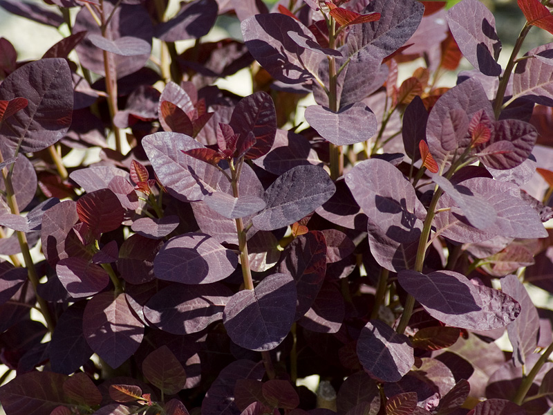cotinus-coggygria-royal-purple