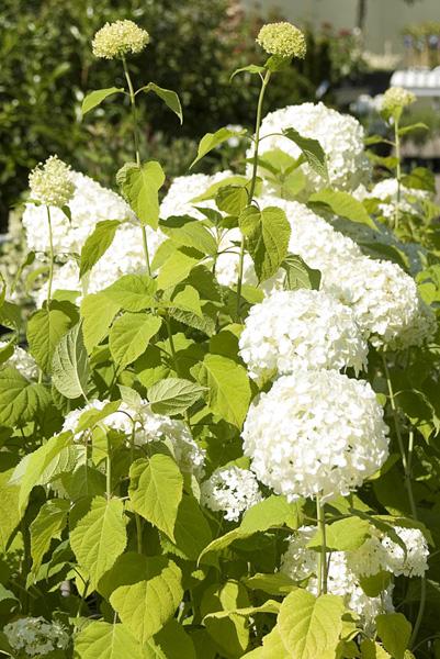 hydrangea-arborescens-annabelle-imgp0148