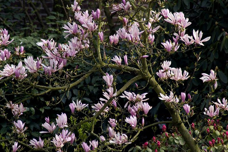 magnolia-stellata-rosea-imgp0278
