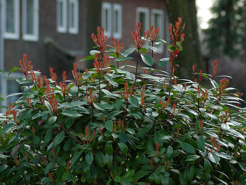 photinia-fraaserii-red-robin-2
