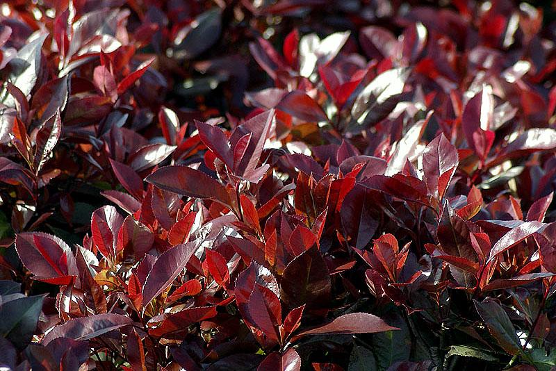 photinia-fraaserii-red-robin-e