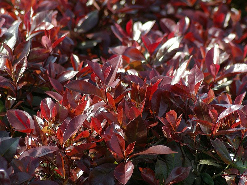 photinia-fraaserii-red-robin
