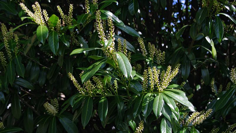 prunus-lauroserasus-caucasica-imgp8551-2