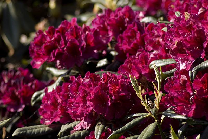 rhododendron-black-spot-imgp2268