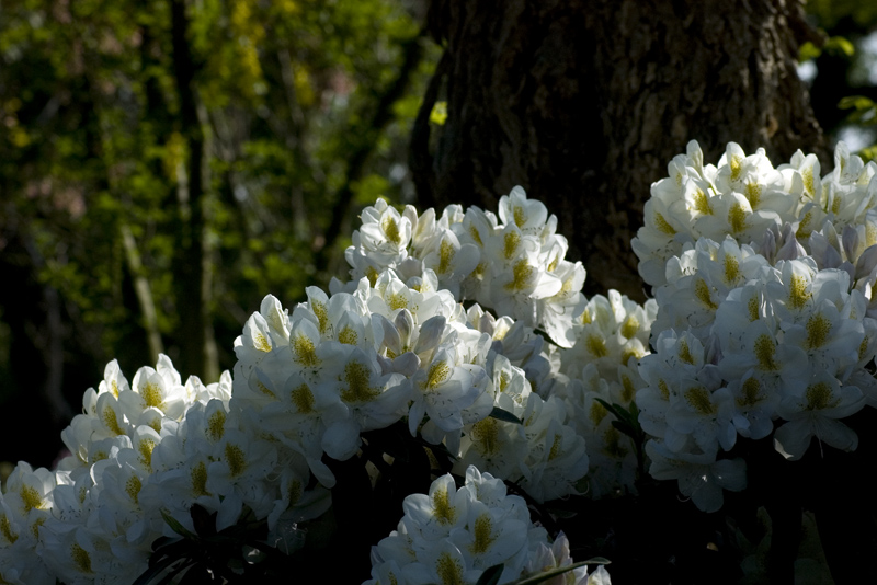 rhododendron-caroline-allbrook-imgp2270