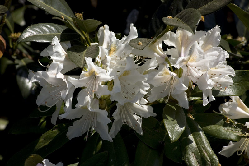 rhododendron-cunninghams-white-imgp2196