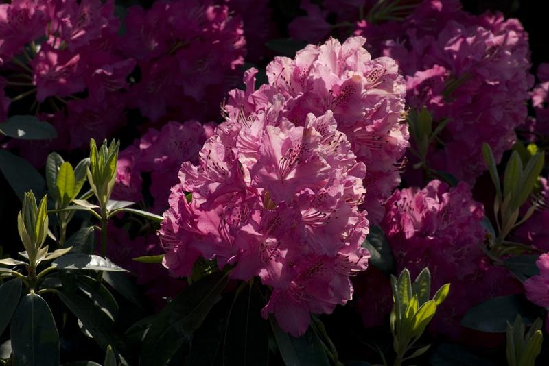 rhododendron-nova-zembla-imgp2197