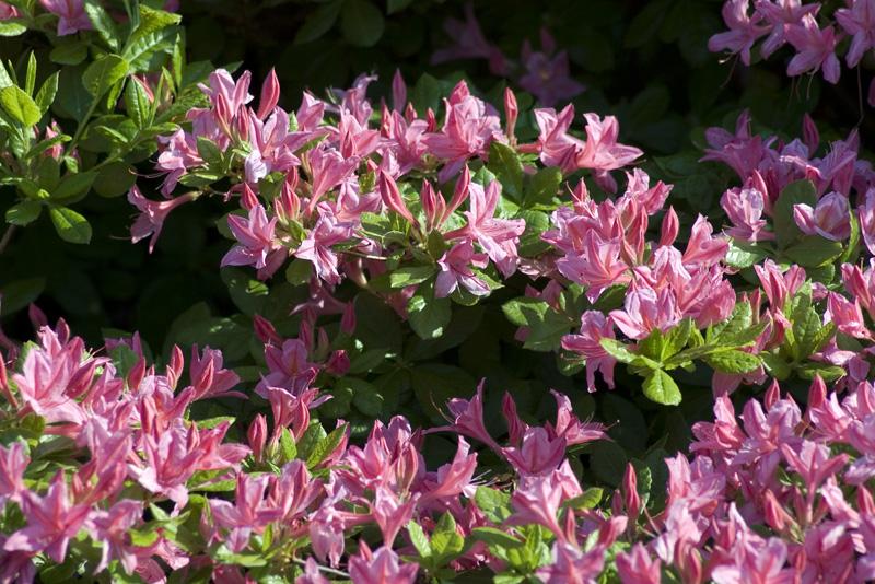 rhododendron-rosata-imgp2252