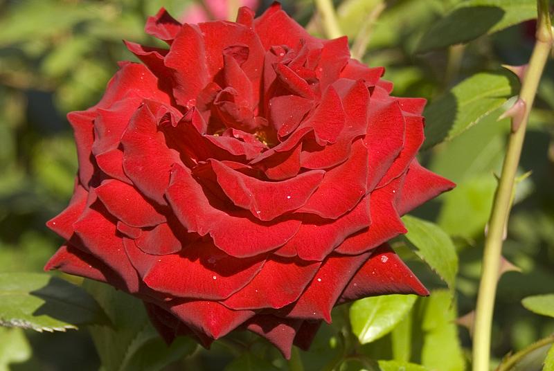 rosa-ingrid-bergman-imgp0146