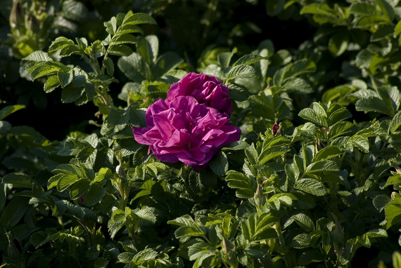 rosa-moje-hammerberg-imgp2280