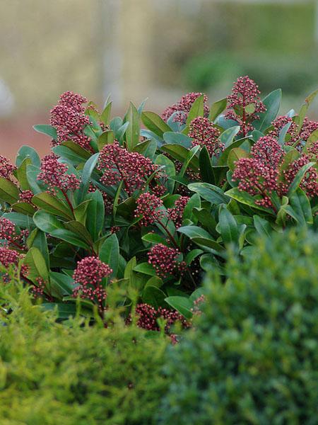 skimmia-japonica-rubella