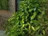 aucuba-japonica-variegata