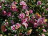camellia-japonica-2
