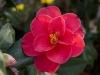 camellia-sasanqua-imgp0162